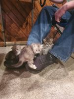 Siberian Cats for sale in Auburn, WA 98092, USA. price: NA
