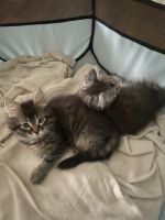 Siberian Cats for sale in North Royalton, OH 44133, USA. price: NA