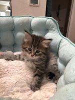 Siberian Cats for sale in Windsor, CA, USA. price: NA