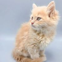 Siberian Cats for sale in Eagle Mountain, UT, USA. price: NA