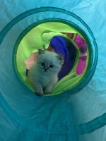 Siberian Cats for sale in Mandeville, LA, USA. price: NA