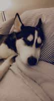 Siberian Husky Puppies for sale in Seabrook, NH, USA. price: NA