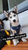 Siberian Husky Puppies for sale in San Jose, CA, USA. price: NA