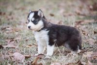 Siberian Husky Puppies for sale in Aurora, CO 80017, USA. price: NA