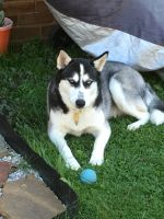 Siberian Husky Puppies for sale in York, PA, USA. price: NA
