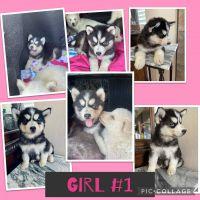 Siberian Husky Puppies for sale in Adelanto, CA, USA. price: NA