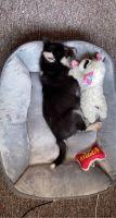 Siberian Husky Puppies for sale in Storm Lake, IA 50588, USA. price: NA