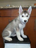 Siberian Husky Puppies for sale in Anaheim, CA, USA. price: NA
