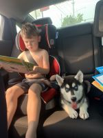 Siberian Husky Puppies for sale in Brooklyn, OH, USA. price: NA