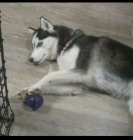 Siberian Husky Puppies for sale in Morrisville, PA 19067, USA. price: NA