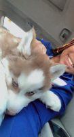 Siberian Husky Puppies for sale in Philadelphia, PA, USA. price: NA