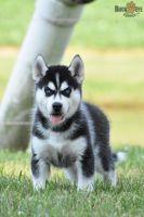 Siberian Husky Puppies for sale in Richmond, VA 23294, USA. price: NA
