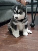 Siberian Husky Puppies for sale in Roselle, NJ 07203, USA. price: NA