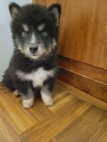 Siberian Husky Puppies for sale in Central, SC 29630, USA. price: NA