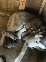 Siberian Husky Puppies for sale in Mt Sterling, KY 40353, USA. price: NA