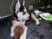 Siberian Husky Puppies for sale in Long Beach, NY, USA. price: NA