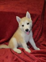 Siberian Husky Puppies for sale in Antelope, CA, USA. price: NA