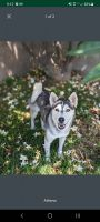 Siberian Husky Puppies for sale in Compton, CA, USA. price: NA