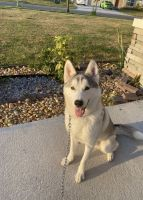 Siberian Husky Puppies for sale in Kissimmee, FL, USA. price: NA