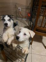 Siberian Husky Puppies for sale in 1926 E Roeser Rd, Phoenix, AZ 85040, USA. price: NA