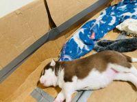 Siberian Husky Puppies for sale in Washingtonville, NY 10992, USA. price: NA