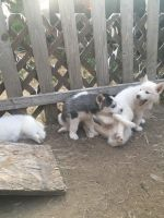 Siberian Husky Puppies for sale in Greeley, CO, USA. price: NA