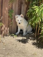 Siberian Husky Puppies for sale in West Hills, Los Angeles, CA, USA. price: NA