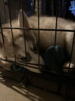 Siberian Husky Puppies for sale in Green Bay, WI, USA. price: NA