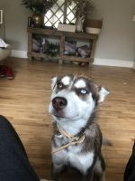 Siberian Husky Puppies for sale in St Paul, MN, USA. price: NA