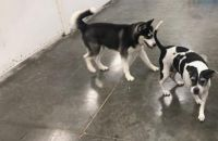 Siberian Husky Puppies for sale in North Las Vegas, NV, USA. price: NA