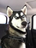 Siberian Husky Puppies for sale in Canby, OR 97013, USA. price: NA