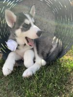 Siberian Husky Puppies for sale in Shakopee, MN, USA. price: NA