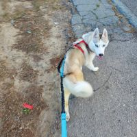 Siberian Husky Puppies for sale in Summit, OK 74401, USA. price: NA