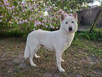 Siberian Husky Puppies for sale in Orange Park, FL 32073, USA. price: NA