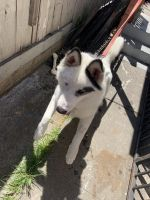 Siberian Husky Puppies for sale in 666 11th St, Richmond, CA 94801, USA. price: NA