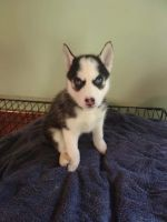 Siberian Husky Puppies for sale in Reedsville, OH 45772, USA. price: NA