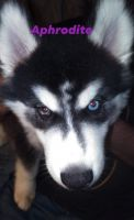 Siberian Husky Puppies for sale in Cape Carteret, NC 28584, USA. price: NA