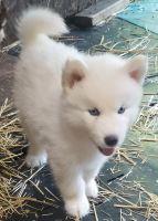 Siberian Husky Puppies for sale in Federal Way, WA 98003, USA. price: NA