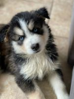 Siberian Husky Puppies for sale in Melbourne, FL, USA. price: NA