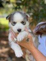 Siberian Husky Puppies for sale in York, SC 29745, USA. price: NA