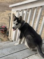 Siberian Husky Puppies for sale in San Diego, CA, USA. price: NA