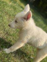 Siberian Husky Puppies for sale in Pittsburgh, PA, USA. price: NA