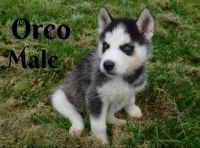 Siberian Husky Puppies for sale in Lancaster, OH 43130, USA. price: NA