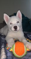 Siberian Husky Puppies for sale in 13 Leonard Pl, Albany, NY 12202, USA. price: NA