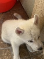 Siberian Husky Puppies for sale in Phoenix, AZ, USA. price: NA