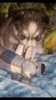 Siberian Husky Puppies for sale in West Warwick, RI 02893, USA. price: NA