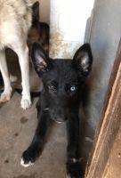 Siberian Husky Puppies for sale in Mesa, AZ, USA. price: NA