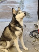 Siberian Husky Puppies for sale in Parma, OH, USA. price: NA