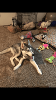Siberian Husky Puppies for sale in Seattle, WA, USA. price: NA
