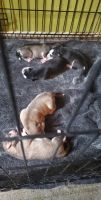 Siberian Husky Puppies for sale in Collinsville, IL 62234, USA. price: NA
